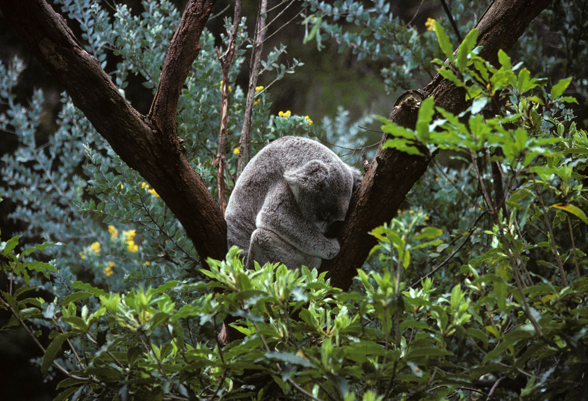 Koala dormant, zoo de Sydney