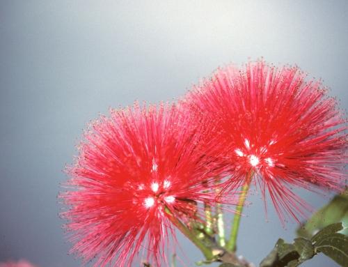 Fleurs d'Australie